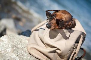 chien teckel avec des lunettes de soleil en mer