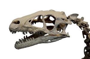 crâne deinonychus