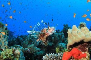 poisson-lion attrape le poisson anthias photo