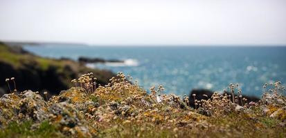 Thrift, fleur d'épargne de mer poussant dans les rochers