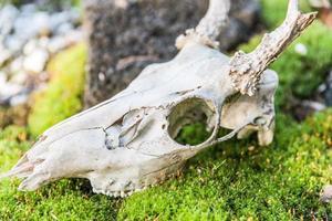 crâne de mousse