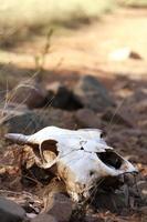 crâne de vache
