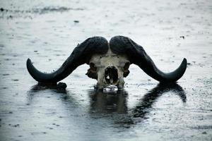 crâne de buffle africain