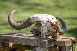crâne de buffle sur table en bois au soleil