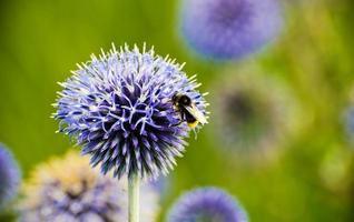 abeille sur une fleur de chardon photo