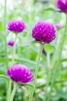fleurs éternelles nacrées photo