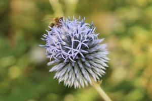 """Fleur """"globe chardon taplow bleu"""" - echinops ritro photo"""