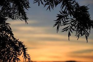 Vue de silhouette de pinoideae (arbre de Noël)