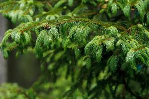 branche de pin avec des gouttes de pluie