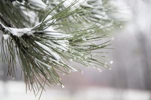 branche avec glace et neige