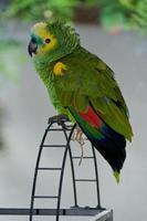 perroquet vert en dehors de sa cage photo