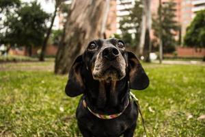 chien noir à poil court photo