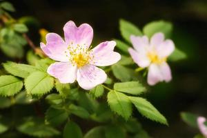 églantine rose sauvage photo