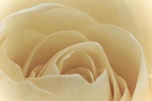 macro rose blanche