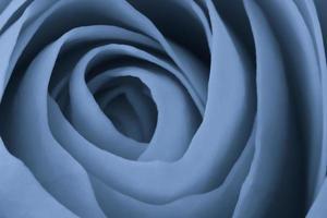 macro rose bleue photo