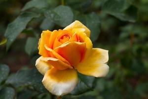 Thé rose avec des gouttes de rosée dans la roseraie