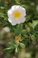 rose sauvage photo