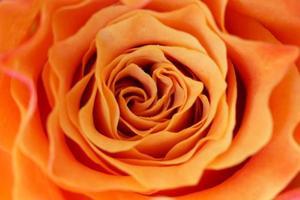 macro d'une rose orange