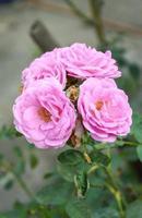 fleur rose damassé rose photo