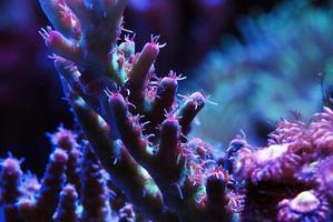 Acropora de corail de récif tropical photo