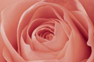 macro rose rose photo
