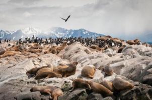 Les lions de mer sur le canal de Beagle en Argentine photo