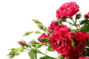Gros plan de roses grimpantes sur fond blanc