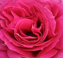 Rose rose en pleine floraison gros plan avec des gouttes de pluie