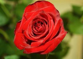 rose rouge unique de la saint-valentin photo