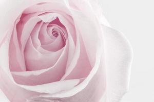 fleur rose texture fond de nature. photo