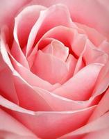 rose rose, gros plan