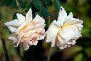 roses blanches photo