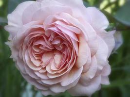 belle rose austin rose clair unique photo