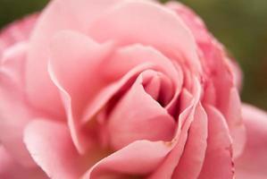 rose rose douce photo