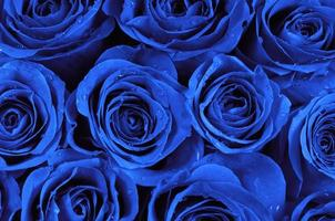 roses bleues photo