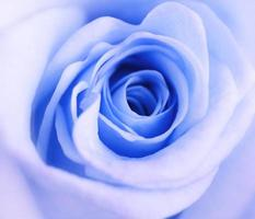 Rose bleue photo