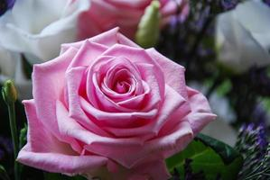 belle rose photo