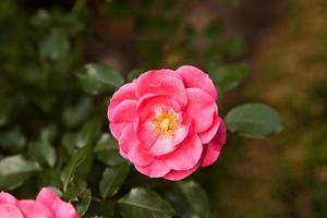 roses en fleurs photo