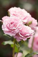roses roses photo