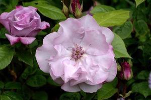 rose pourpre. photo