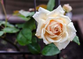 rose sous la pluie photo