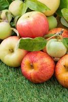 Pommes fraîches du jardin sur l'herbe verte, vertical