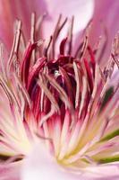 fleur de clématite photo