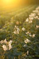 champ de pommes de terre au coucher du soleil