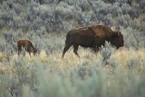 Jeune veau bison marche avec sa mère, par national de Yellowstone