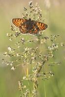 Heath fritillary - Melitaea athalia photo