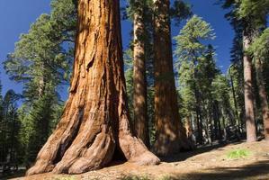 Arbre séquoia géant, Mariposa Grove, Parc National de Yosemite, Californie, USA