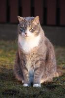 Portrait de chat gris dans le jardin