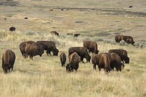 Troupeau de bisons paissant dans la vallée de Lamar, parc de Yellowstone, Wyoming