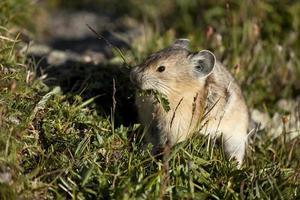 American pika mange recueille de la nourriture dans le parc national des Rocheuses